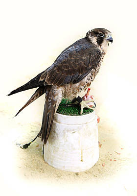 Photograph - Feeding Falcon by Paul Cowan