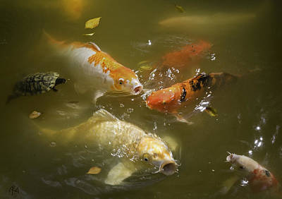 Photograph - Feeding Koi by Ron Morecraft