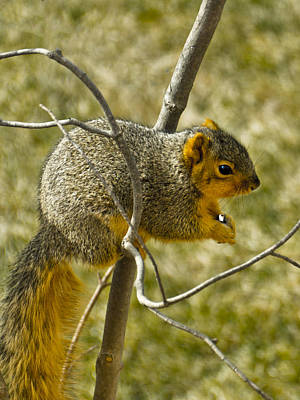 Squirrel Photograph - Feeding Tree Squirrel by LeeAnn McLaneGoetz McLaneGoetzStudioLLCcom