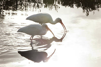 Ibis Wall Art - Photograph - Feeding White Ibis by Keith Kapple