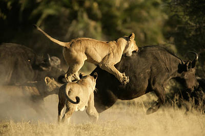 Female African Lions Pounce On An Print by Beverly Joubert