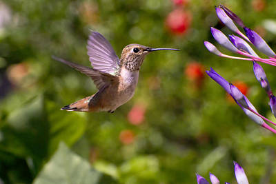 Bromeliad Photograph - Female Allen's Hummingbird by Mike Herdering