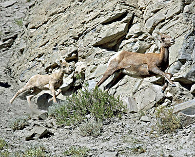 Photograph - Female And Juvenile Big Horn Sheep by Shawn Naranjo