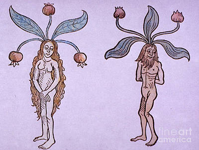 Mayapple Photograph - Female And Male Mandrake, Alchemy Plant by Science Source