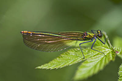 Female Banded Demoiselle Damselfly Art Print by Dr Keith Wheeler