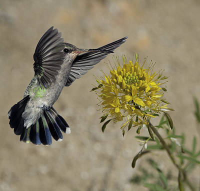 Broadbilled Hummingbirds Photograph - Female Broadbill With Yellow Flower by Gregory Scott