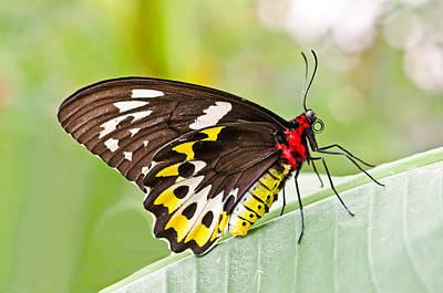 Female Cairns-birdwing Butterfly Art Print