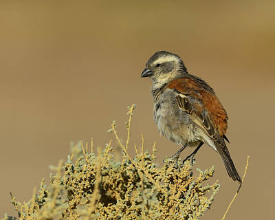 Photograph - Female Cape Sparrow by Tony Beck