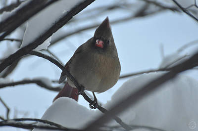 Photograph - Female Cardinal In Snow II by Healing Woman