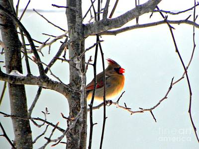 Found Round And About Photograph - Female Cardinal In The Cold by Tisha  Clinkenbeard