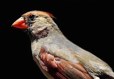 Female Cardinal Art Print by Paulette Thomas