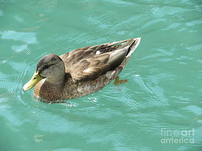 Photograph - Female Duck by Ausra Huntington nee Paulauskaite