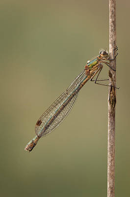 Female Emerald Damselfly Art Print by Andy Astbury