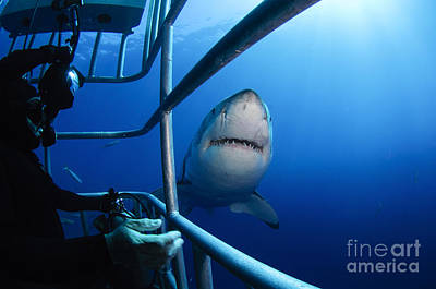 Cage Diving Photograph - Female Great White And Underwater by Todd Winner