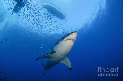 Female Great White, Guadalupe Island Art Print by Todd Winner