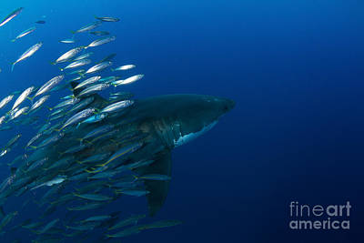 Female Great White Shark With A School Art Print by Todd Winner