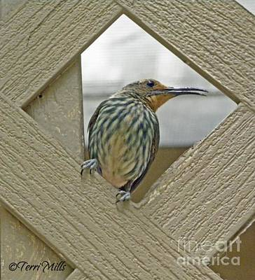 Photograph - Female Honeycreeper by Terri Mills