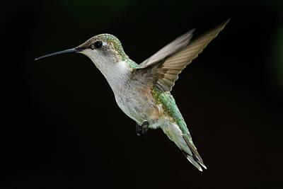 Ruby-throated Hummingbird Photograph - Female Hummingbird by DansPhotoArt on flickr