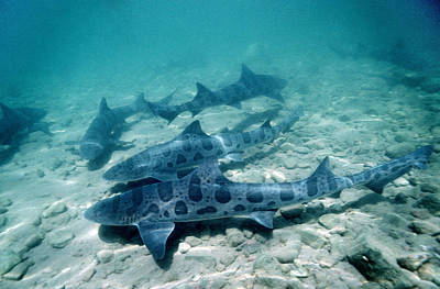 Female Leopard Sharks Art Print
