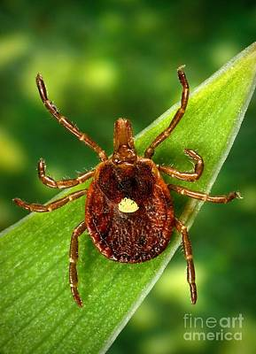 Staris Photograph - Female Lone Star Tick by Science Source