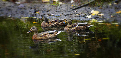 Photograph - Female Mallards by Scott Hovind