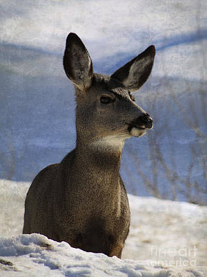 Photograph - Female Mule Deer by Alyce Taylor