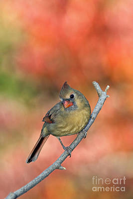 Photograph - Female Northern Cardinal - D007809 by Daniel Dempster