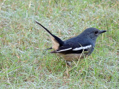 Female Oriental Magpie Robin On The Grass Field Pyrography - Female Oriental Magpie Robin by Ramesh Chand