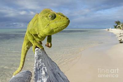 Female Oustalet's Chameleon Art Print by Alex Rosenfield and Photo Researchers