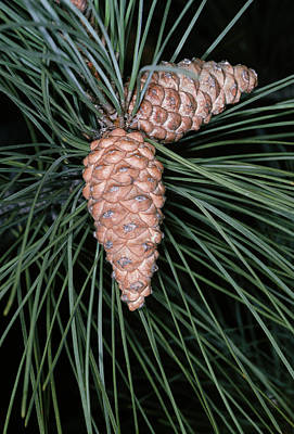 Female Pine Cones Art Print by Bob Gibbons