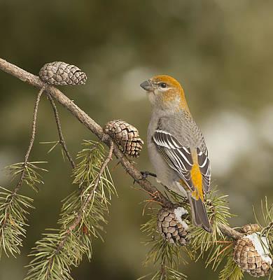 Pine Grosbeak Photograph - Female Pine Grosbeak by Photographs By Les Piccolo