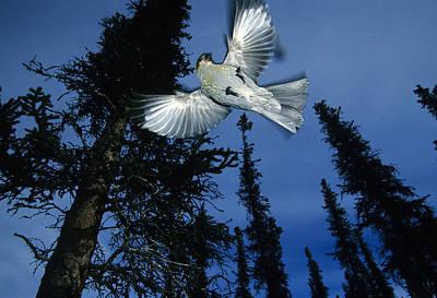 Pine Grosbeak Photograph - Female Pine Grosbeak Spreads Its Wings by Michael S. Quinton