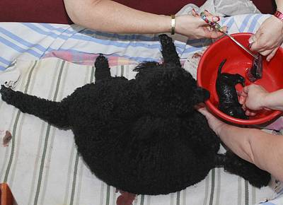 Female Poodle Gives Birth Print by Photostock-israel
