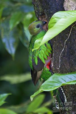 Quetzal Photograph - Female Quetzal At Nest Site by Heiko Koehrer-Wagner