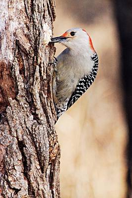 Photograph - Female Red-bellied Woodpecker 6 by Larry Ricker