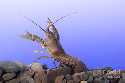 Photograph - Female Rusty Crayfish by Ted Kinsman