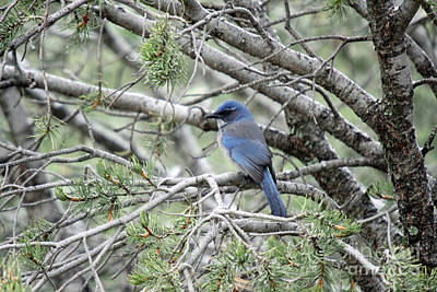 Photograph - Female Stellers Jay In Pine by Shawn Naranjo