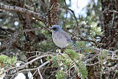 Photograph - Female Stellers Jay by Shawn Naranjo