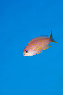 Sex Change Photograph - Female Stocky Anthias by Matthew Oldfield