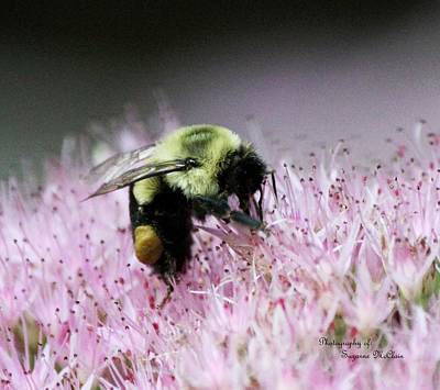 Female Worker Bumble Bee With Pollen Sack On Hen And Chick Plant Art Print by Suzanne  McClain