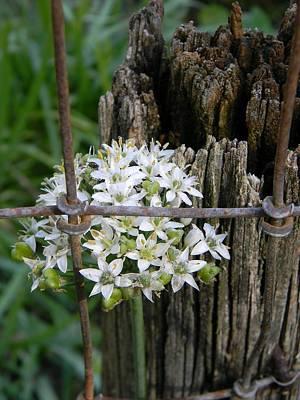 Fence And Flower Original