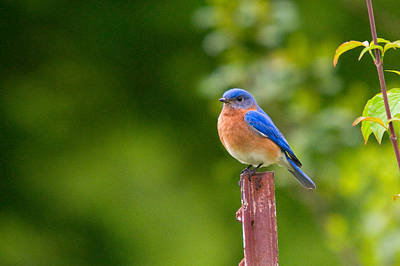 Photograph - Fence Post Bluebird by Steve Stuller