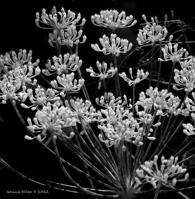 Photograph - Fennel Flowers by Grace Dillon