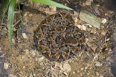 Fer-de-lance Snake Art Print by Bob Gibbons