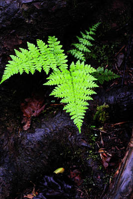 Fern Along Kaaterskill Art Print by Rick Berk