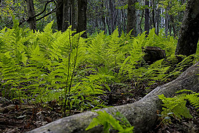 Photograph - Fern by Sara Hudock