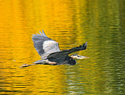 Photograph - Fernhill Flying Heron Predator by Jean Noren