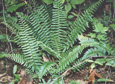 Photograph - Ferns by Lee Hartsell