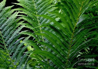 Photograph - Ferns by Living Color Photography Lorraine Lynch