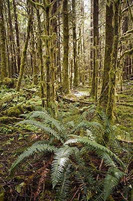 Queen Charlotte Islands Photograph - Ferns Sit On The Forest Floor by Taylor S. Kennedy